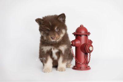 puppy177 week7 BowTiePomsky.com Bowtie Pomsky Puppy For Sale Husky Pomeranian Mini Dog Spokane WA Breeder Blue Eyes Pomskies Celebrity Puppy web3