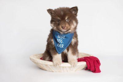 puppy177 week7 BowTiePomsky.com Bowtie Pomsky Puppy For Sale Husky Pomeranian Mini Dog Spokane WA Breeder Blue Eyes Pomskies Celebrity Puppy web5