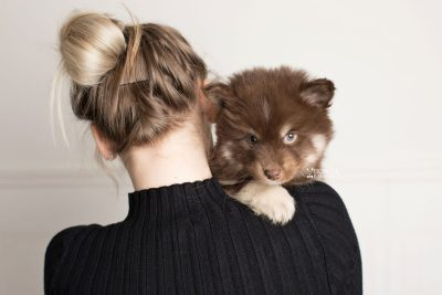 puppy177 week7 BowTiePomsky.com Bowtie Pomsky Puppy For Sale Husky Pomeranian Mini Dog Spokane WA Breeder Blue Eyes Pomskies Celebrity Puppy web8