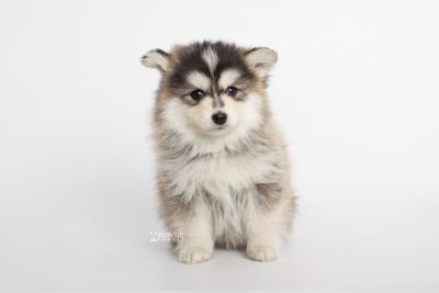 puppy178 week7 BowTiePomsky.com Bowtie Pomsky Puppy For Sale Husky Pomeranian Mini Dog Spokane WA Breeder Blue Eyes Pomskies Celebrity Puppy web4