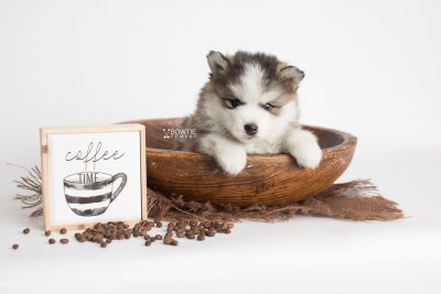 puppy179 week5 BowTiePomsky.com Bowtie Pomsky Puppy For Sale Husky Pomeranian Mini Dog Spokane WA Breeder Blue Eyes Pomskies Celebrity Puppy web4