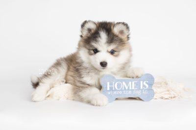 puppy179 week7 BowTiePomsky.com Bowtie Pomsky Puppy For Sale Husky Pomeranian Mini Dog Spokane WA Breeder Blue Eyes Pomskies Celebrity Puppy web2