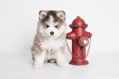 puppy179 week7 BowTiePomsky.com Bowtie Pomsky Puppy For Sale Husky Pomeranian Mini Dog Spokane WA Breeder Blue Eyes Pomskies Celebrity Puppy web3