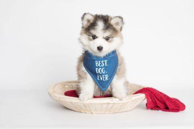 puppy179 week7 BowTiePomsky.com Bowtie Pomsky Puppy For Sale Husky Pomeranian Mini Dog Spokane WA Breeder Blue Eyes Pomskies Celebrity Puppy web6