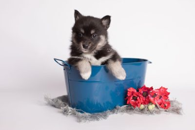 puppy182 week5 BowTiePomsky.com Bowtie Pomsky Puppy For Sale Husky Pomeranian Mini Dog Spokane WA Breeder Blue Eyes Pomskies Celebrity Puppy web1