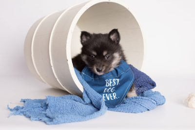 puppy182 week5 BowTiePomsky.com Bowtie Pomsky Puppy For Sale Husky Pomeranian Mini Dog Spokane WA Breeder Blue Eyes Pomskies Celebrity Puppy web5