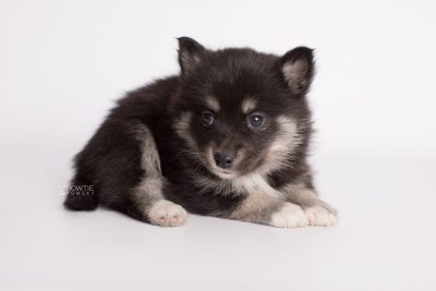 puppy182 week5 BowTiePomsky.com Bowtie Pomsky Puppy For Sale Husky Pomeranian Mini Dog Spokane WA Breeder Blue Eyes Pomskies Celebrity Puppy web6