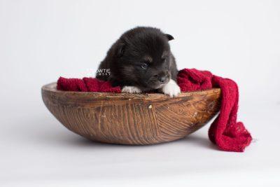 puppy183 week3 BowTiePomsky.com Bowtie Pomsky Puppy For Sale Husky Pomeranian Mini Dog Spokane WA Breeder Blue Eyes Pomskies Celebrity Puppy web4