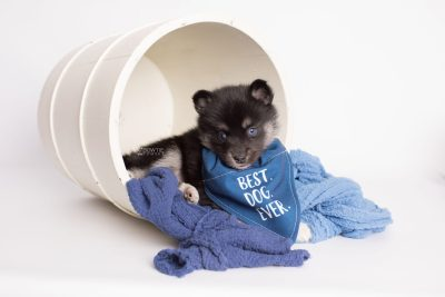 puppy183 week5 BowTiePomsky.com Bowtie Pomsky Puppy For Sale Husky Pomeranian Mini Dog Spokane WA Breeder Blue Eyes Pomskies Celebrity Puppy web5