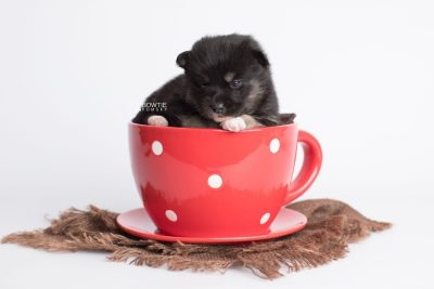 puppy185 week3 BowTiePomsky.com Bowtie Pomsky Puppy For Sale Husky Pomeranian Mini Dog Spokane WA Breeder Blue Eyes Pomskies Celebrity Puppy web2