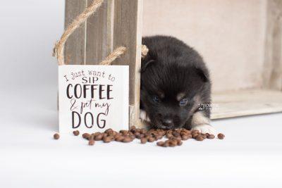 puppy185 week3 BowTiePomsky.com Bowtie Pomsky Puppy For Sale Husky Pomeranian Mini Dog Spokane WA Breeder Blue Eyes Pomskies Celebrity Puppy web5