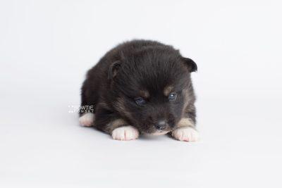 puppy185 week3 BowTiePomsky.com Bowtie Pomsky Puppy For Sale Husky Pomeranian Mini Dog Spokane WA Breeder Blue Eyes Pomskies Celebrity Puppy web8
