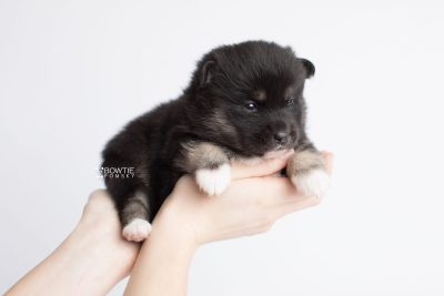 puppy185 week3 BowTiePomsky.com Bowtie Pomsky Puppy For Sale Husky Pomeranian Mini Dog Spokane WA Breeder Blue Eyes Pomskies Celebrity Puppy web9