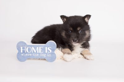 puppy185 week5 BowTiePomsky.com Bowtie Pomsky Puppy For Sale Husky Pomeranian Mini Dog Spokane WA Breeder Blue Eyes Pomskies Celebrity Puppy web4