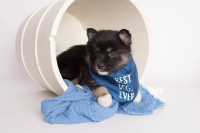 puppy185 week5 BowTiePomsky.com Bowtie Pomsky Puppy For Sale Husky Pomeranian Mini Dog Spokane WA Breeder Blue Eyes Pomskies Celebrity Puppy web5