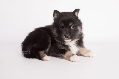 puppy185 week5 BowTiePomsky.com Bowtie Pomsky Puppy For Sale Husky Pomeranian Mini Dog Spokane WA Breeder Blue Eyes Pomskies Celebrity Puppy web6