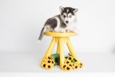 puppy181 week7 BowTiePomsky.com Bowtie Pomsky Puppy For Sale Husky Pomeranian Mini Dog Spokane WA Breeder Blue Eyes Pomskies Celebrity Puppy web3