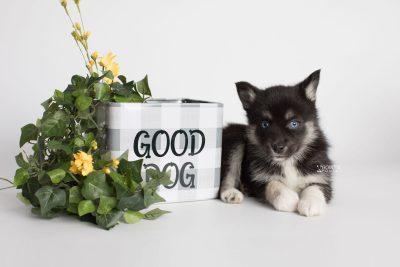 puppy183 week7 BowTiePomsky.com Bowtie Pomsky Puppy For Sale Husky Pomeranian Mini Dog Spokane WA Breeder Blue Eyes Pomskies Celebrity Puppy web2