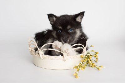 puppy183 week7 BowTiePomsky.com Bowtie Pomsky Puppy For Sale Husky Pomeranian Mini Dog Spokane WA Breeder Blue Eyes Pomskies Celebrity Puppy web5