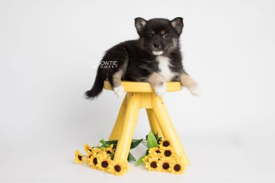 puppy185 week7 BowTiePomsky.com Bowtie Pomsky Puppy For Sale Husky Pomeranian Mini Dog Spokane WA Breeder Blue Eyes Pomskies Celebrity Puppy web4
