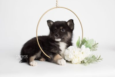 puppy185 week7 BowTiePomsky.com Bowtie Pomsky Puppy For Sale Husky Pomeranian Mini Dog Spokane WA Breeder Blue Eyes Pomskies Celebrity Puppy web5