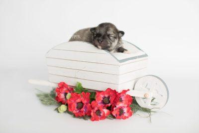 puppy186 week1 BowTiePomsky.com Bowtie Pomsky Puppy For Sale Husky Pomeranian Mini Dog Spokane WA Breeder Blue Eyes Pomskies Celebrity Puppy web1