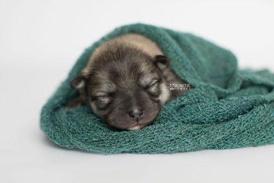 puppy186 week1 BowTiePomsky.com Bowtie Pomsky Puppy For Sale Husky Pomeranian Mini Dog Spokane WA Breeder Blue Eyes Pomskies Celebrity Puppy web3