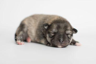 puppy186 week1 BowTiePomsky.com Bowtie Pomsky Puppy For Sale Husky Pomeranian Mini Dog Spokane WA Breeder Blue Eyes Pomskies Celebrity Puppy web6