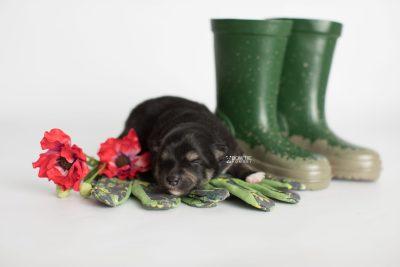 puppy187 week1 BowTiePomsky.com Bowtie Pomsky Puppy For Sale Husky Pomeranian Mini Dog Spokane WA Breeder Blue Eyes Pomskies Celebrity Puppy web3