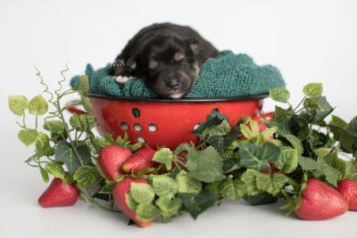 puppy187 week1 BowTiePomsky.com Bowtie Pomsky Puppy For Sale Husky Pomeranian Mini Dog Spokane WA Breeder Blue Eyes Pomskies Celebrity Puppy web5