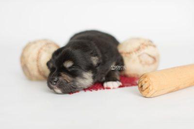 puppy187 week1 BowTiePomsky.com Bowtie Pomsky Puppy For Sale Husky Pomeranian Mini Dog Spokane WA Breeder Blue Eyes Pomskies Celebrity Puppy web7