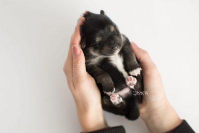puppy187 week1 BowTiePomsky.com Bowtie Pomsky Puppy For Sale Husky Pomeranian Mini Dog Spokane WA Breeder Blue Eyes Pomskies Celebrity Puppy web9
