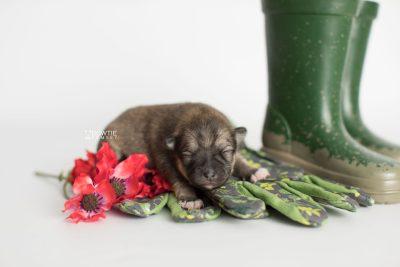 puppy190 week1 BowTiePomsky.com Bowtie Pomsky Puppy For Sale Husky Pomeranian Mini Dog Spokane WA Breeder Blue Eyes Pomskies Celebrity Puppy web2