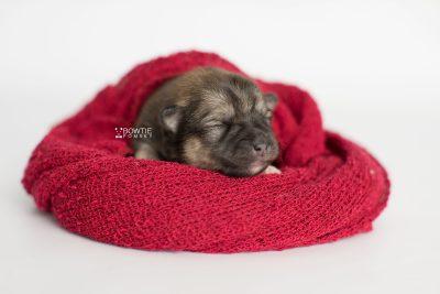puppy190 week1 BowTiePomsky.com Bowtie Pomsky Puppy For Sale Husky Pomeranian Mini Dog Spokane WA Breeder Blue Eyes Pomskies Celebrity Puppy web3