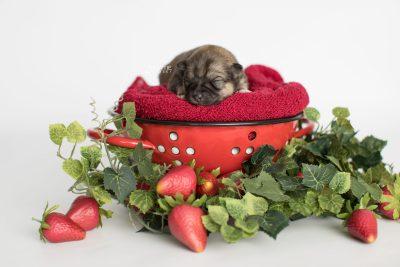 puppy190 week1 BowTiePomsky.com Bowtie Pomsky Puppy For Sale Husky Pomeranian Mini Dog Spokane WA Breeder Blue Eyes Pomskies Celebrity Puppy web4