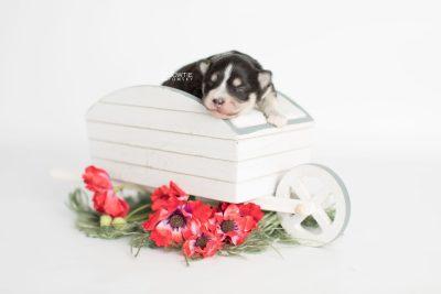 puppy191 week1 BowTiePomsky.com Bowtie Pomsky Puppy For Sale Husky Pomeranian Mini Dog Spokane WA Breeder Blue Eyes Pomskies Celebrity Puppy web1