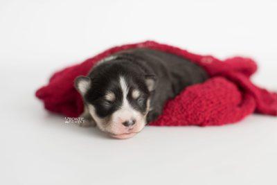 puppy191 week1 BowTiePomsky.com Bowtie Pomsky Puppy For Sale Husky Pomeranian Mini Dog Spokane WA Breeder Blue Eyes Pomskies Celebrity Puppy web5