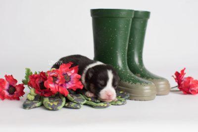 puppy193 week1 BowTiePomsky.com Bowtie Pomsky Puppy For Sale Husky Pomeranian Mini Dog Spokane WA Breeder Blue Eyes Pomskies Celebrity Puppy web2