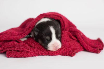 puppy193 week1 BowTiePomsky.com Bowtie Pomsky Puppy For Sale Husky Pomeranian Mini Dog Spokane WA Breeder Blue Eyes Pomskies Celebrity Puppy web5