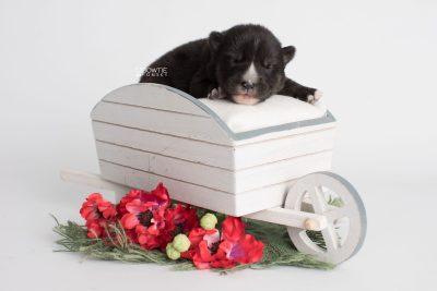 puppy195 week1 BowTiePomsky.com Bowtie Pomsky Puppy For Sale Husky Pomeranian Mini Dog Spokane WA Breeder Blue Eyes Pomskies Celebrity Puppy web1