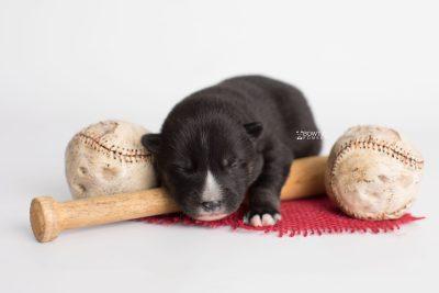 puppy195 week1 BowTiePomsky.com Bowtie Pomsky Puppy For Sale Husky Pomeranian Mini Dog Spokane WA Breeder Blue Eyes Pomskies Celebrity Puppy web5