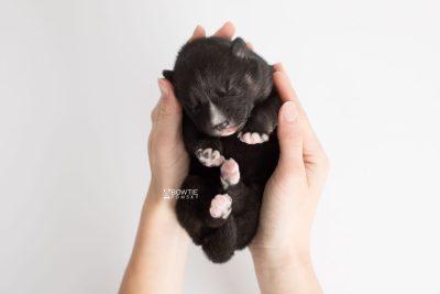 puppy195 week1 BowTiePomsky.com Bowtie Pomsky Puppy For Sale Husky Pomeranian Mini Dog Spokane WA Breeder Blue Eyes Pomskies Celebrity Puppy web9