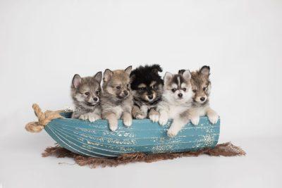 puppy186-190 week7 BowTiePomsky.com Bowtie Pomsky Puppy For Sale Husky Pomeranian Mini Dog Spokane WA Breeder Blue Eyes Pomskies Celebrity Puppy web1
