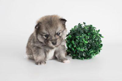 puppy186 week3 BowTiePomsky.com Bowtie Pomsky Puppy For Sale Husky Pomeranian Mini Dog Spokane WA Breeder Blue Eyes Pomskies Celebrity Puppy web2