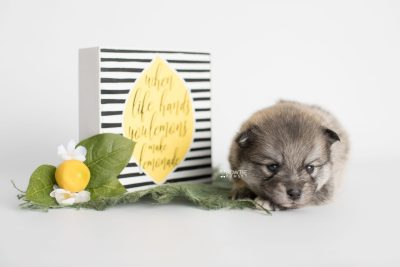 puppy186 week3 BowTiePomsky.com Bowtie Pomsky Puppy For Sale Husky Pomeranian Mini Dog Spokane WA Breeder Blue Eyes Pomskies Celebrity Puppy web4