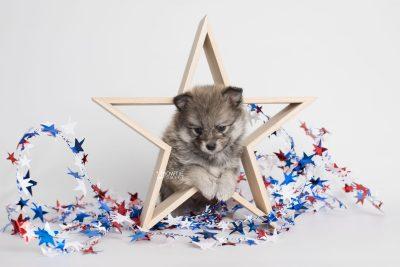 puppy186 week5 BowTiePomsky.com Bowtie Pomsky Puppy For Sale Husky Pomeranian Mini Dog Spokane WA Breeder Blue Eyes Pomskies Celebrity Puppy web1