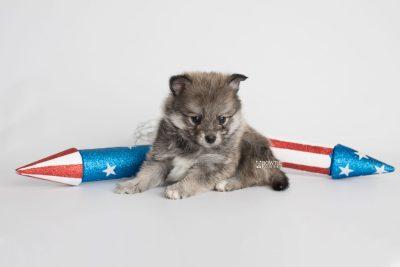 puppy186 week5 BowTiePomsky.com Bowtie Pomsky Puppy For Sale Husky Pomeranian Mini Dog Spokane WA Breeder Blue Eyes Pomskies Celebrity Puppy web2