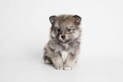puppy186 week5 BowTiePomsky.com Bowtie Pomsky Puppy For Sale Husky Pomeranian Mini Dog Spokane WA Breeder Blue Eyes Pomskies Celebrity Puppy web6