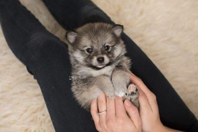 puppy186 week5 BowTiePomsky.com Bowtie Pomsky Puppy For Sale Husky Pomeranian Mini Dog Spokane WA Breeder Blue Eyes Pomskies Celebrity Puppy web7