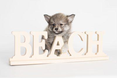puppy186 week7 BowTiePomsky.com Bowtie Pomsky Puppy For Sale Husky Pomeranian Mini Dog Spokane WA Breeder Blue Eyes Pomskies Celebrity Puppy web2